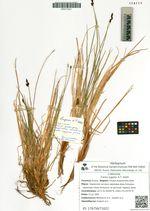Carex lugens H.T. Holm