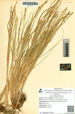 Carex maackii Maxim.
