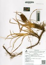 Carex macrocephala Willd. ex Spreng.