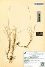 Carex mackenziei V. Krecz.