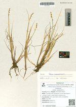 Carex canescens L.