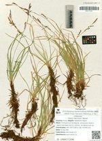 Carex macroura  Meinsh.