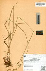 Carex mandshurica Meinsh.