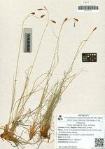 Carex macrogyna Turcz. ex Steud.