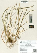 Carex media R. Br.