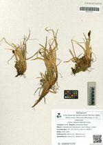 Carex melanocephala Turcz.