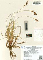 Carex melanantha C.A. Mey.