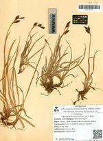 Carex melanostoma Fisch. ex V. Krecz.
