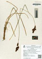 Carex melananthiformis Litv.