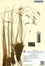 Carex meyeriana Kunth