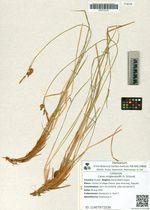 Carex middendorffii Fr. Schmidt