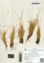 Carex micropoda C.A. Mey.