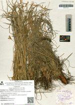 Carex pediformis C.A. Mey.