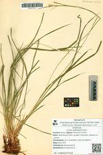 Carex peiktusanii Kom.