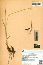 Carex podocarpa R. Br.