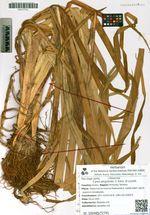 Carex pergrandis V. Krecz. et Lucznik
