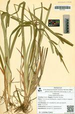 Carex planiculmis Kom.