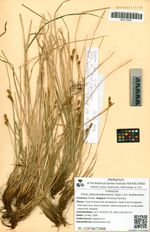 Carex pseudosabynensis (Egor.) A.E. Kozhevnikov