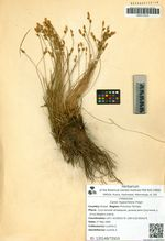 Carex hypochlora Freyn