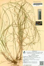 Carex remotiuscula Wahlenb.