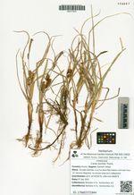 Carex pumila Thunb.