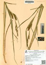 Carex rhynchophysa C.A. Mey.