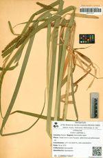 Carex capitata L.
