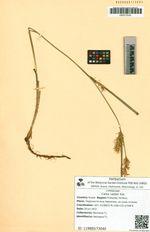 Carex raddei Kük.