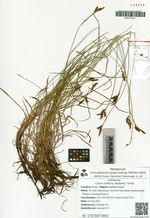 Carex rariflora (Wahlenb.) Smith