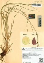 Carex ramenskii Kom.