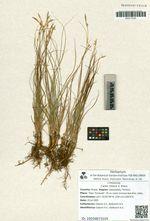 Carex relaxa V. Krecz.