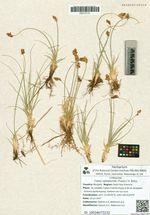 Carex reptabunda (Trautv.) V. Krecz.