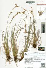 Carex reventa  V. Krecz.