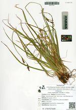 Carex rigidioides (Gorodk.) V. Krecz.