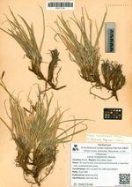 Carex koraginensis Meinsh.