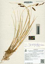 Carex rostrata Stokes subsp. dichroa (Freyn) A. Galanin