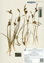 Carex rostrata  Stokes subsp. jacutica (V. Krecz.) Galanin