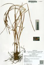 Carex riishirensis Franch.
