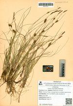 Carex rotundata Wahlenb.