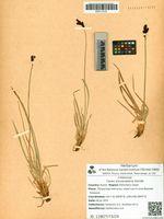 Carex soczavaeana Gorodk.
