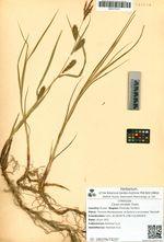 Carex sordida Cham.