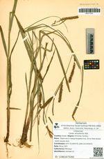 Carex amurensis Kük.