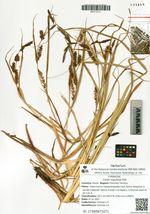 Carex rugulosa Kük.