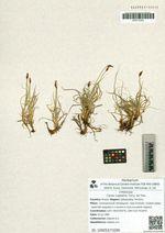 Carex rupestris Turcz. ex Trev.