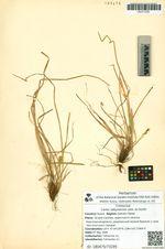 Carex sabynensis Less. ex Kunth