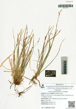 Carex sachalinensis Fr. Schmidt