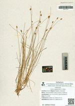 Carex sajanensis V. Krecz
