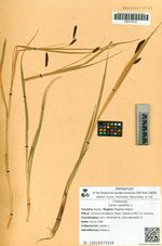 Carex saxatilis L.