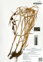 Carex scabrinervia Franch.