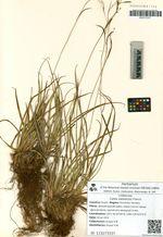 Carex sadoensis Franch.